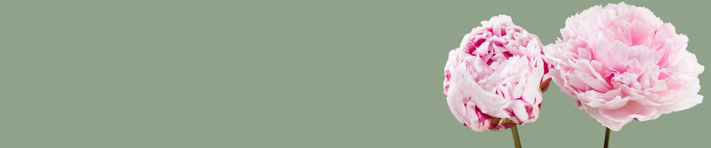 Sarah Bernhardt pioenrozen bestellen
