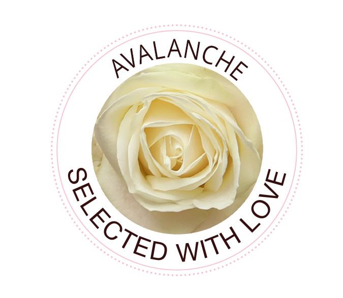 Avalanche rozen