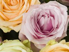 Avalanche Sweet rozen