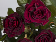 Black baccara rozen