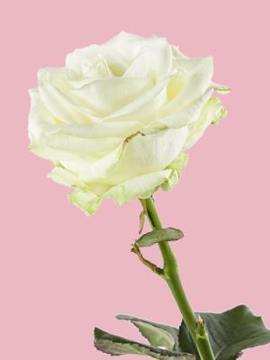 Enkele witte roos
