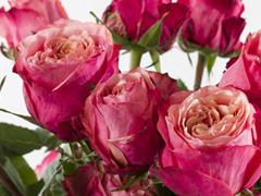 Grote rozen uit Ecuador