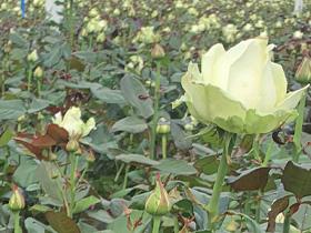Witte rozen van de kweker