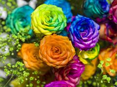 Regenboog rozen kopen