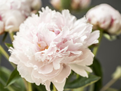 Sarah Bernhardt pioen