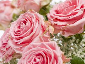 Roze Sophia Loren rozen