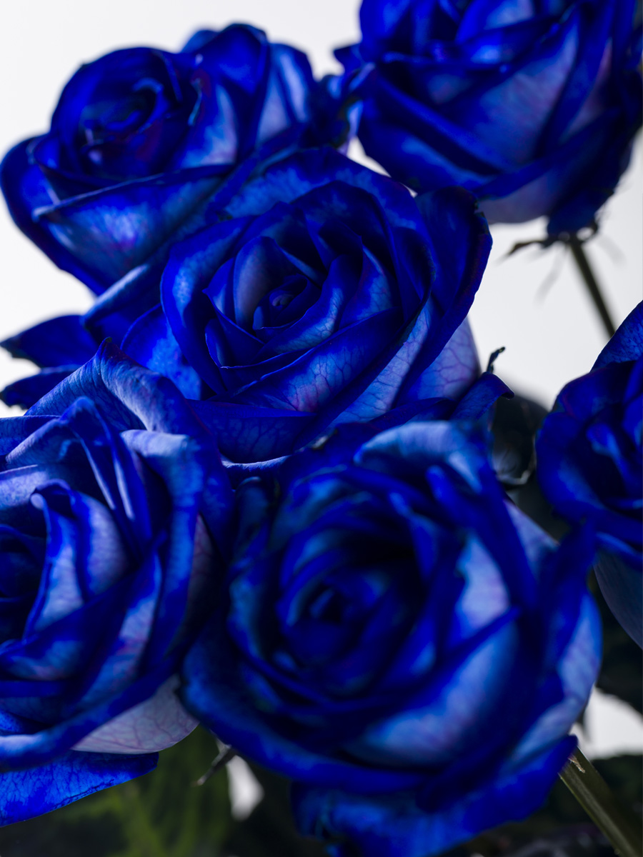Blauw rozenboeket: hier bestellen