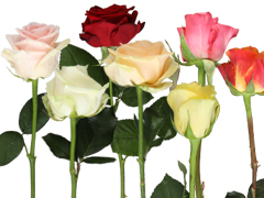 Weetjes over rozen