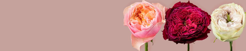 Engelse rozen / Wilde rozen